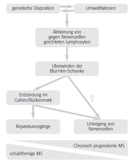 Modell der Entstehung der Multiplen Sklerose