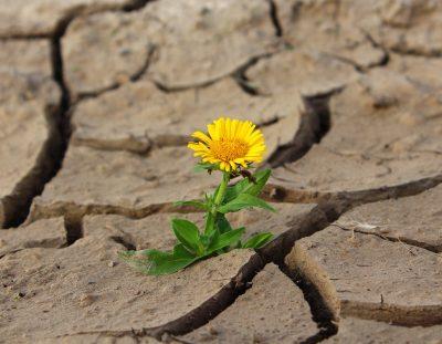 gelbe Blume wächst aus vertrockneter, rissiger Erde, Credit: klimkin, Pixabay
