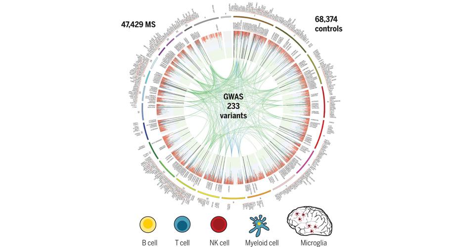 Die genetische Karte von MS impliziert Mikroglia sowie mehrere verschiedene periphere Immunzellpopulationen beim Ausbruch der Krankheit. Quelle: International Multiple Sclerosis Genetics Consortium