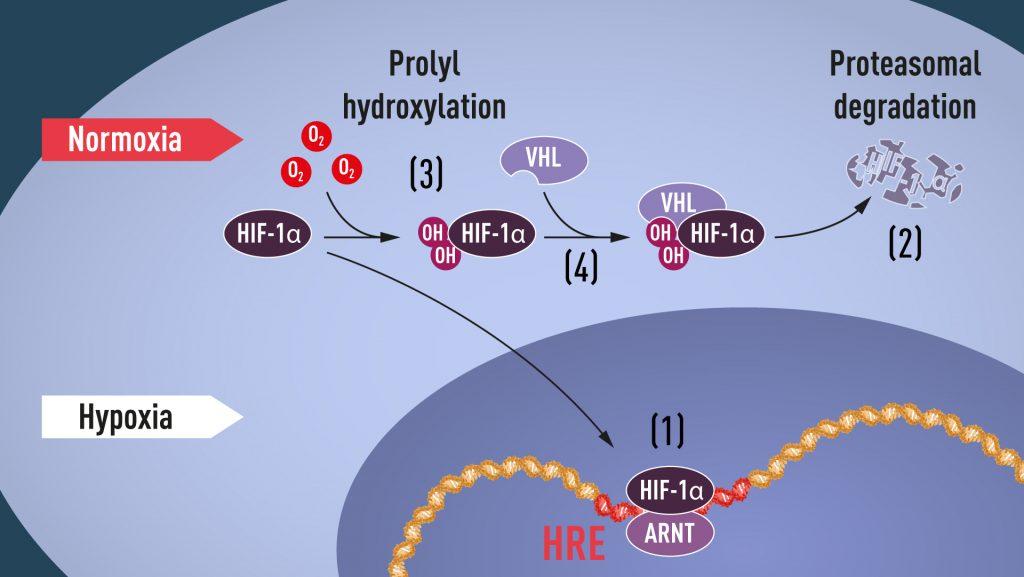 Wenn der Sauerstoffgehalt niedrig ist (Hypoxie), wird HIF-1α vor Abbau geschützt und sammelt sich im Zellkern an, wo es mit ARNT assoziiert und an spezifische DNA-Sequenzen (HRE) in hypoxie-regulierten Genen bindet (1). Bei normalen Sauerstoffgehalten wird HIF-1α durch das Proteasom (2) schnell abgebaut. Sauerstoff reguliert den Abbauprozess durch Addition von Hydroxylgruppen (OH) an HIF-1α (3). Das VHL-Protein kann dann einen Komplex mit HIF-1α erkennen und bilden, der in sauerstoffabhängiger Weise zu dessen Abbau führt (4).