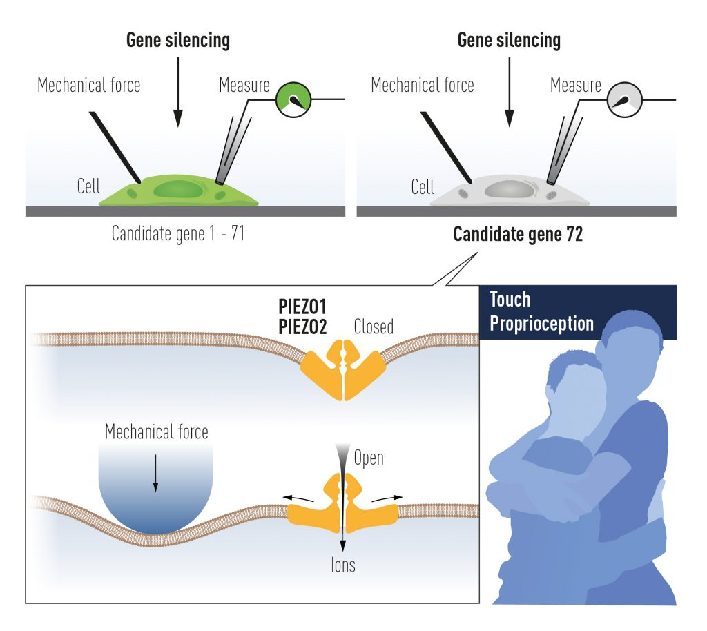 Patapoutian verwendete kultivierte mechanosensitive Zellen, um einen durch mechanische Kraft aktivierten Ionenkanal zu identifizieren. Nach mühevoller Arbeit wurde Piezo1 identifiziert. Aufgrund seiner Ähnlichkeit mit Piezo1 wurde ein zweiter Ionenkanal gefunden (Piezo2).